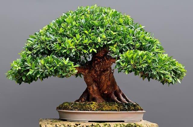 il-bonsai