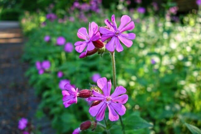 Geranio-o-pelargonium