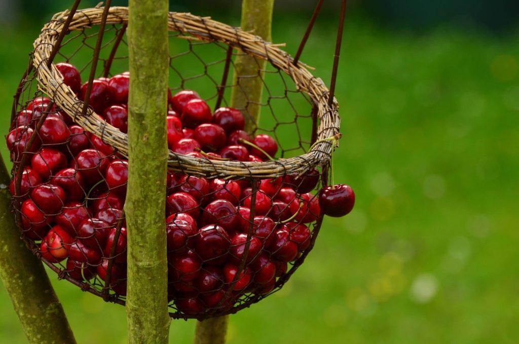 La-potatura-del-ciliegio