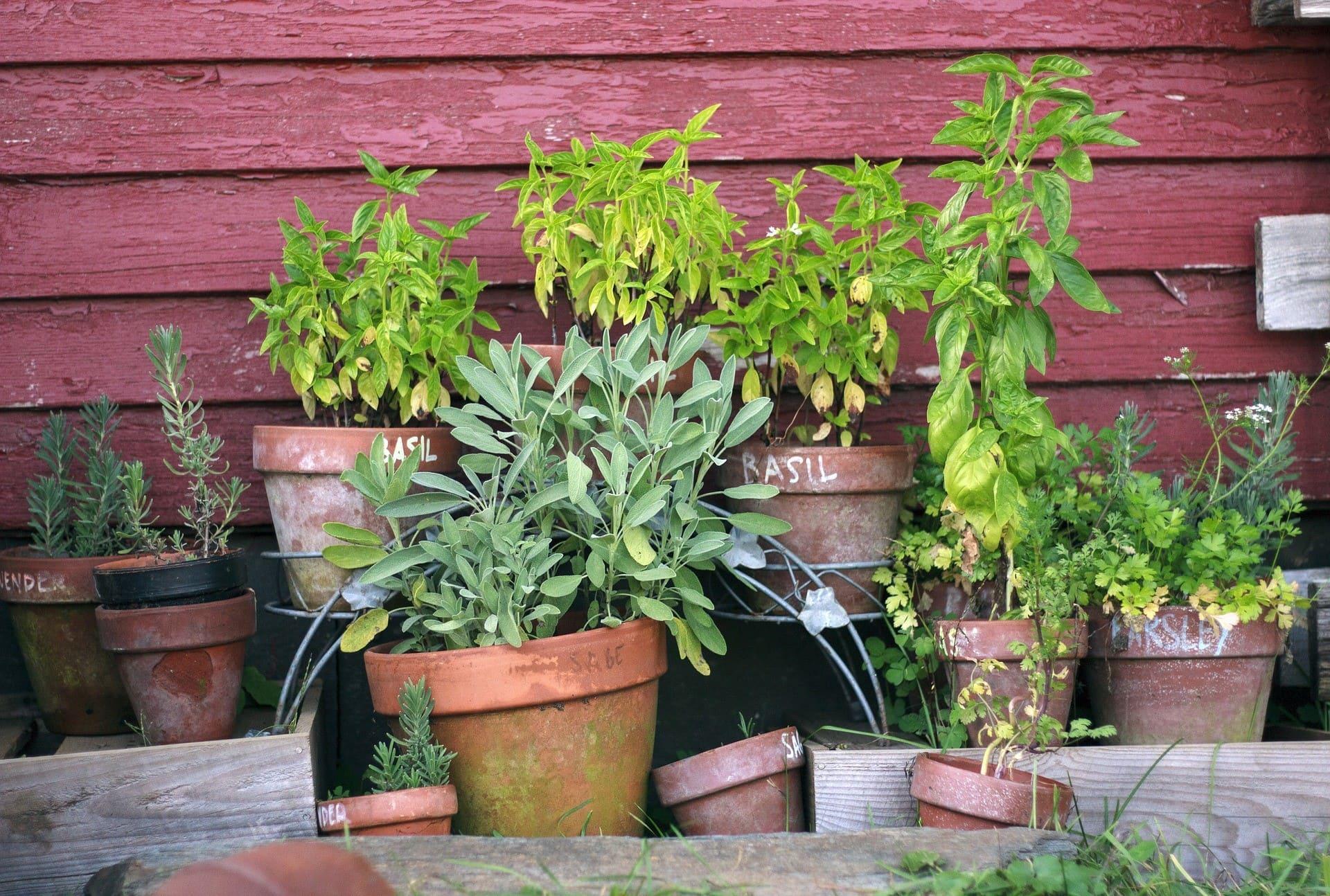 Le-piante-aromatiche-in-vaso