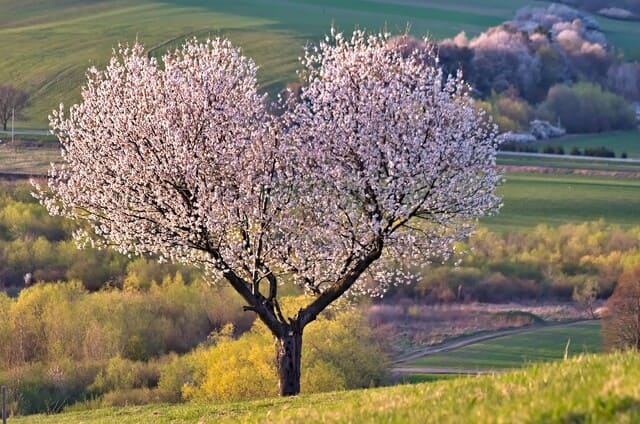 albero-di-ciliegio