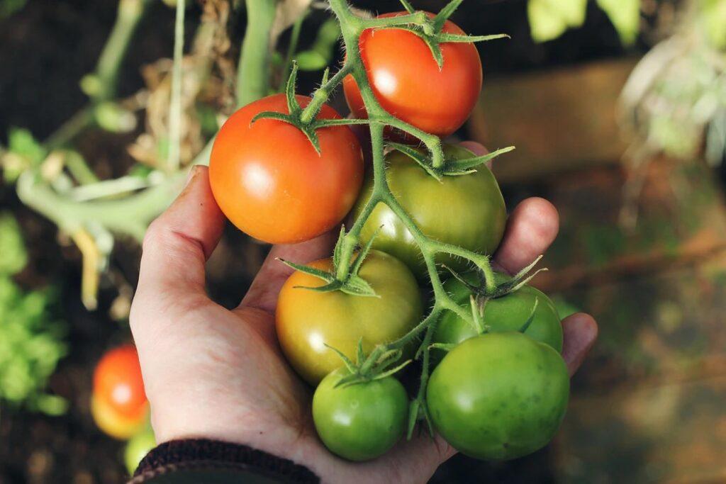 Come-innaffiare-i-pomodori