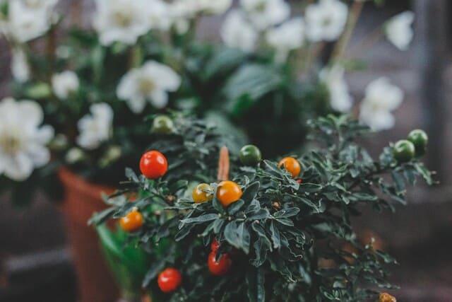 pianta-di-pomodori