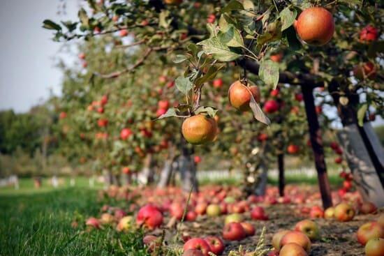 Come-piantare-i-meli