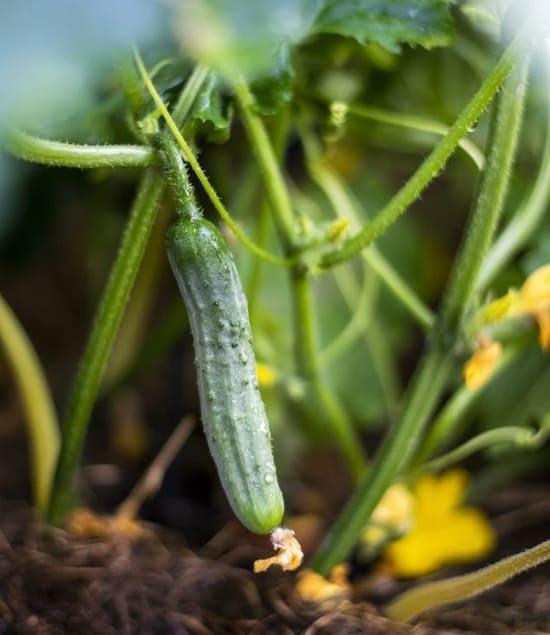 Come-piantare-le-zucchine