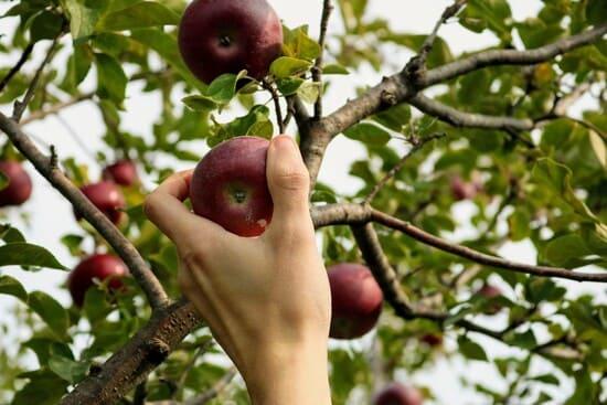 Come-raccogliere-e-conservare-le-mele