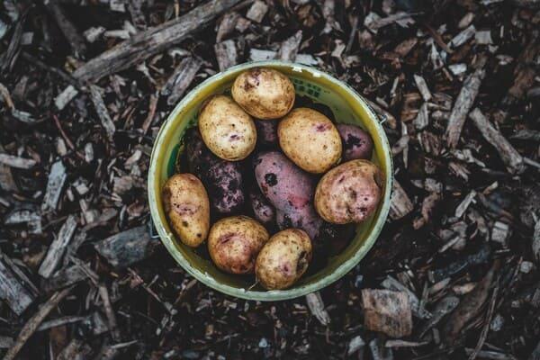 Concimare-le-patate