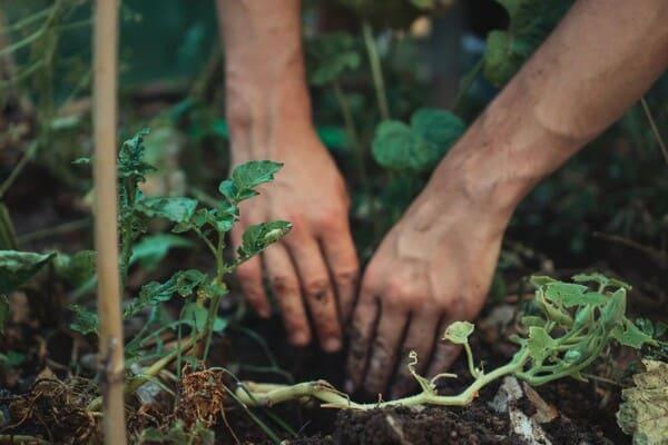 Quale-tipo-di-fertilizzante-usare-sulle-piante-di-patate