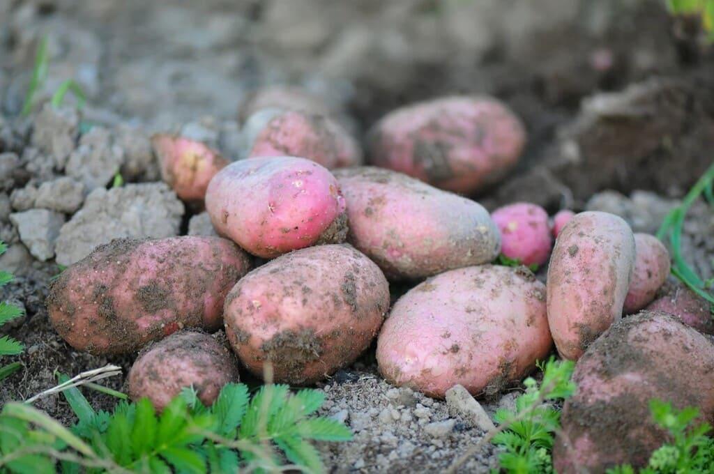 Quando-concimare-le-patate