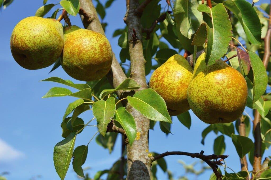 Alberi-da-frutta-colonnari-coltivazione-cura-e-manutenzione