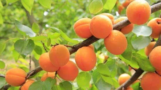 Albicocche-frutta-di-luglio