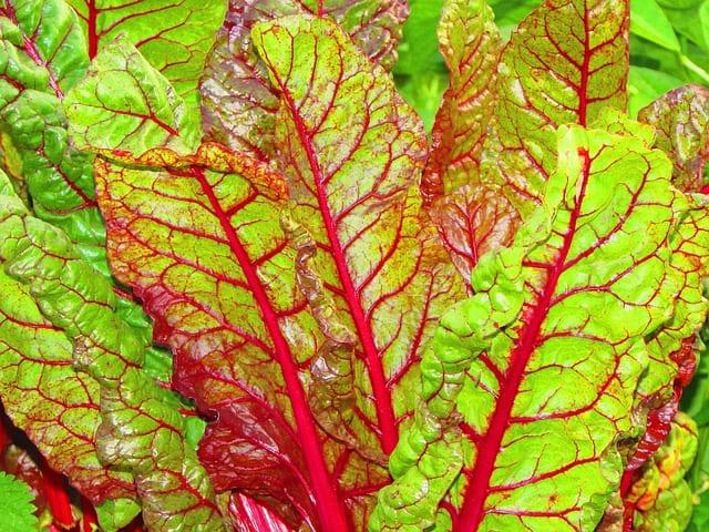 Bietola-da-costa-verdura-di-stagione-di-novembre