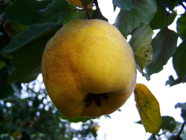 Cedro-frutta-di-stagione-di-marzo