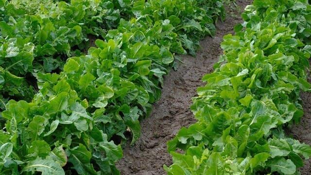 Cicoria-catalogna-verdura-di-stagione-a-giugno