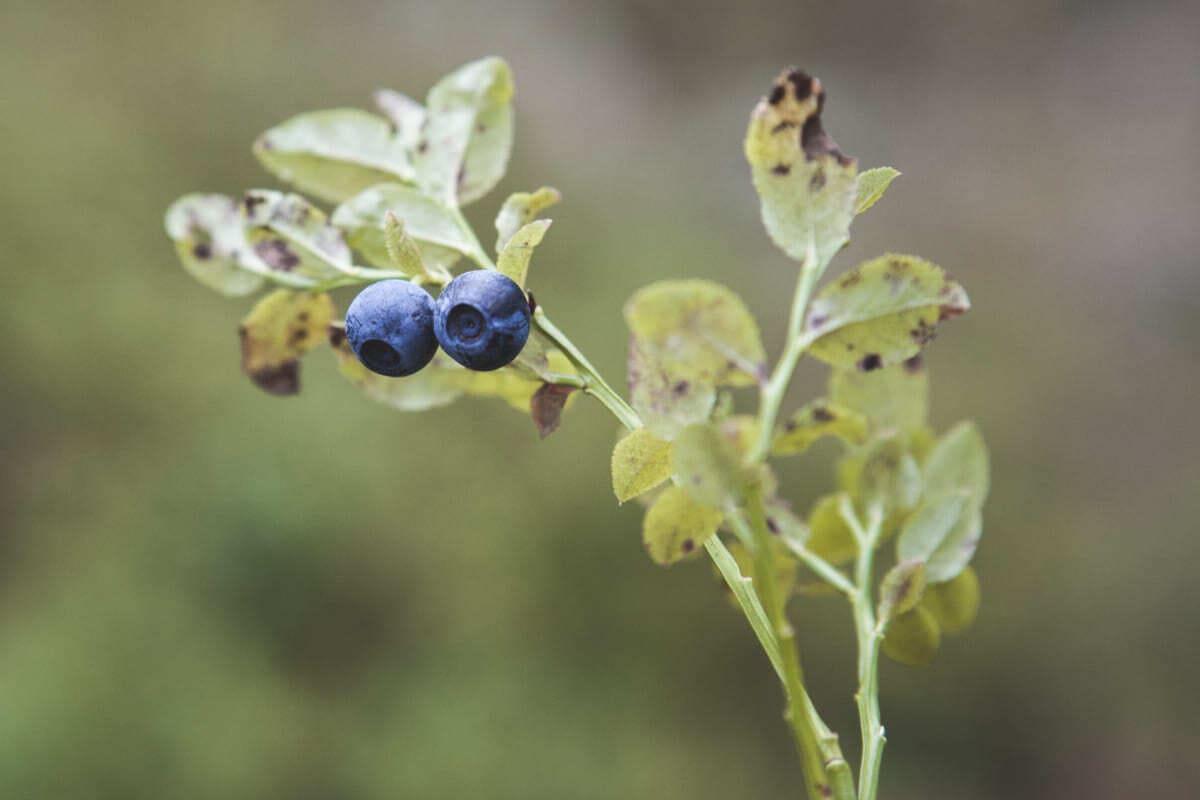 Come-coltivare-i-mirtilli-in-vaso