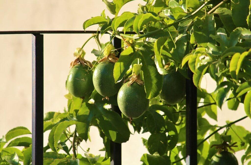 Come-coltivare-il-frutto-della-passione