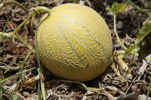 Come-coltivare-il-melone