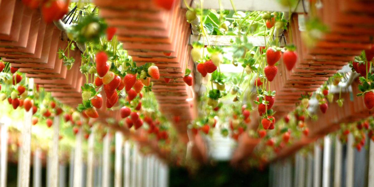 Come-coltivare-le-fragole-in-vaso