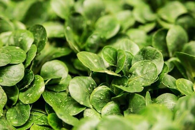 Insalata-gentilina-verdura-di-stagione-a-giugno