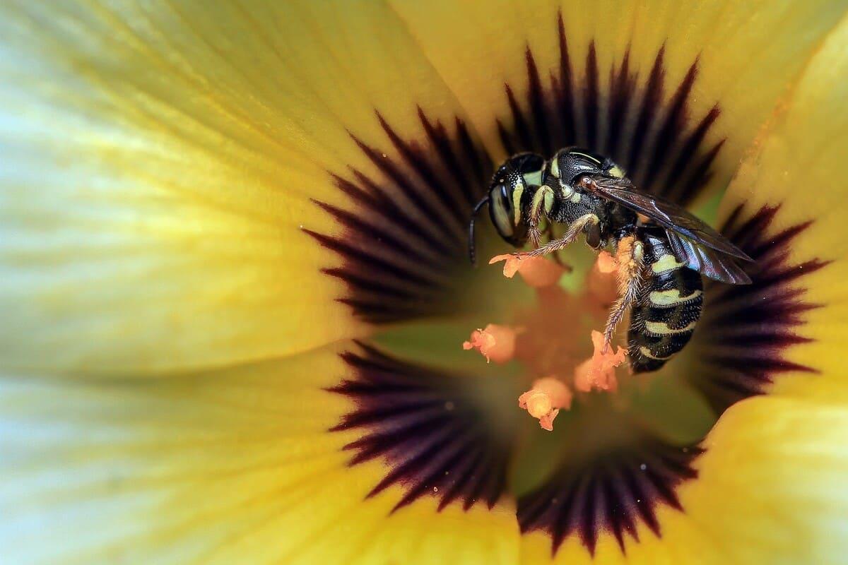 Le-vespe-impollinano-i-fiori