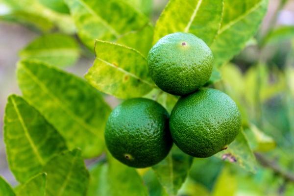 Lime-frutta-di-stagione-di-marzo