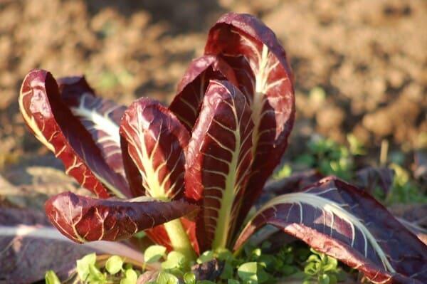 Radicchio-rosso-tardivo-verdura-di-stagione-a-gennaio
