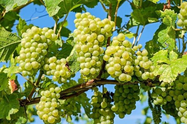 Uva-frutta-di-stagione-a-ottobre
