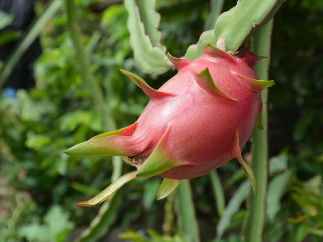 coltivare-il-frutto-del-drago