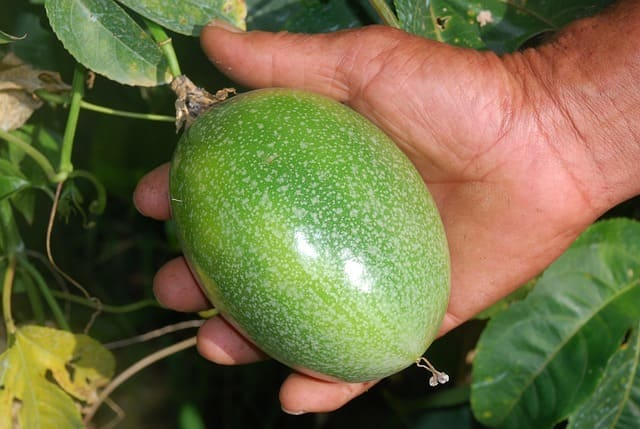 coltivare-il-frutto-della-passione