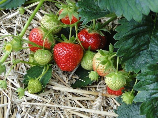 coltivare-le-fragole-in-serra