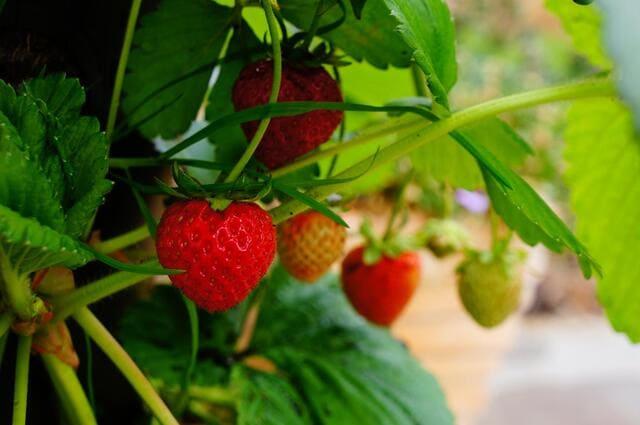 coltivare-le-fragole