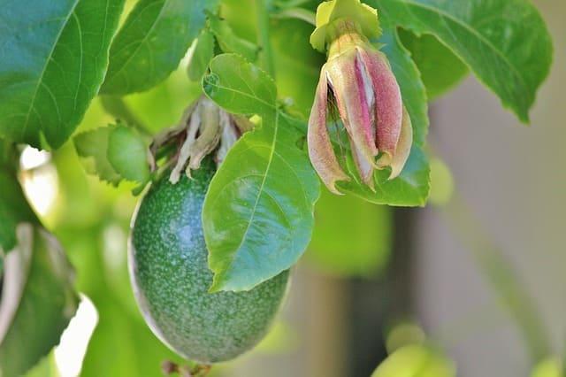 il-frutto-della-passione