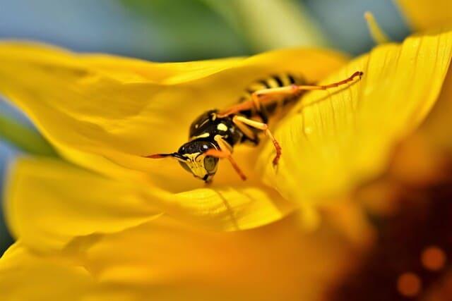 impollinazione-delle-vespe