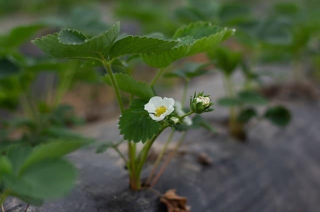 piante-di-fragola-e-fiori