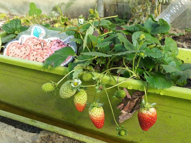 vantaggi-di-coltivare-le-fragole-in-vaso