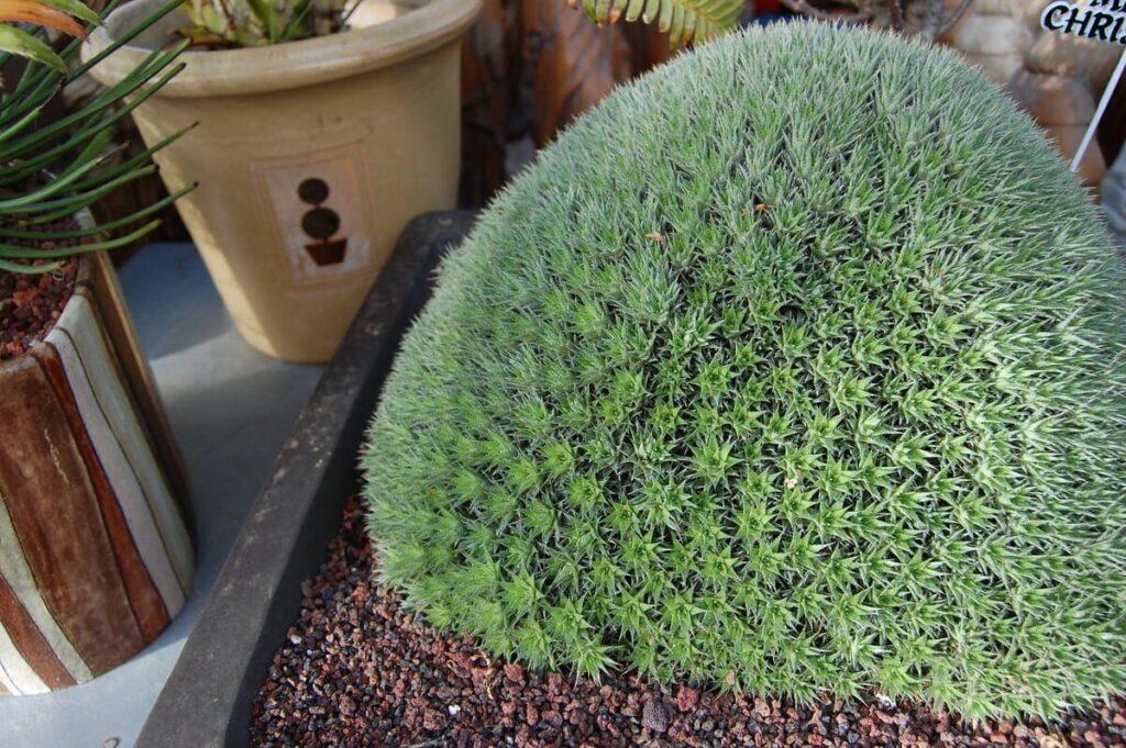 Abromeitiella-brevifolia
