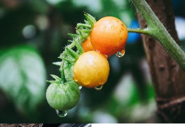 Annaffia-i-pomodori-regolarmente