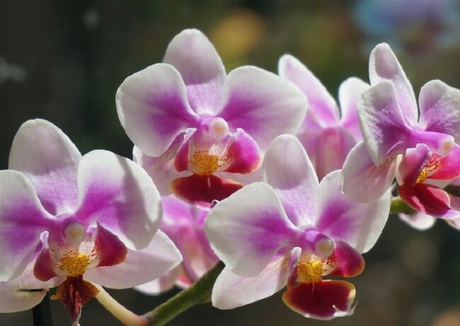 Come-annaffiare-le-orchidee-in-vaso-di-vetro