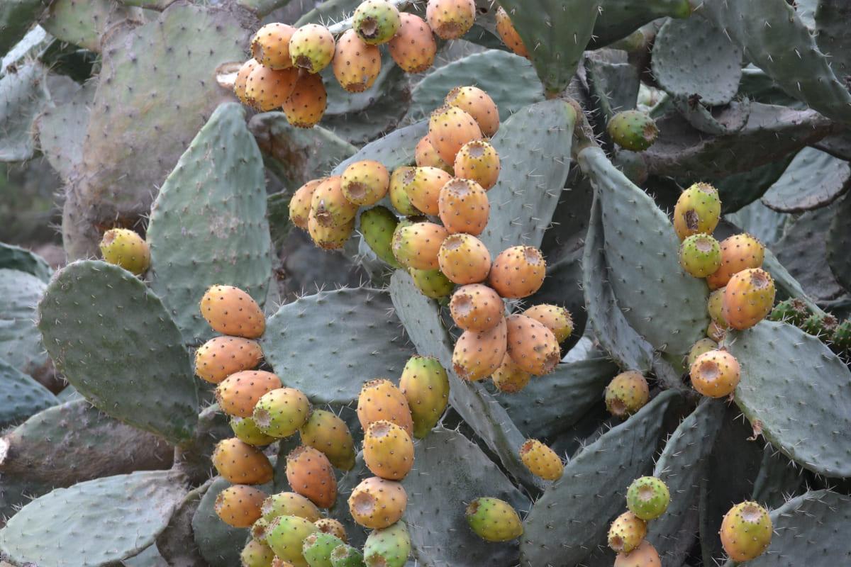 Come-coltivare-il-fico-dIndia-in-vaso