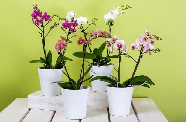 Come-coltivare-le-orchidee-in-vaso