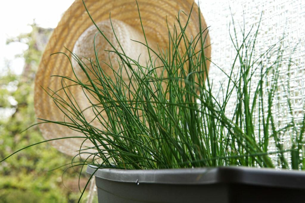Come-coltivare-lerba-cipollina-in-vaso
