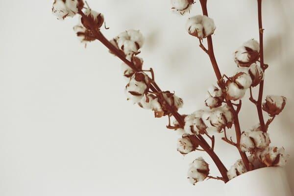 Diverse-parti-della-pianta-del-cotone