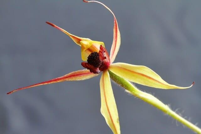 Lorchidea-brassia