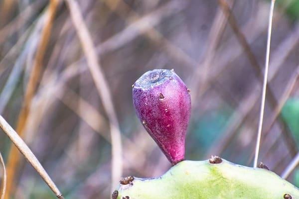 Selezione-dei-frutti-fico-dindia
