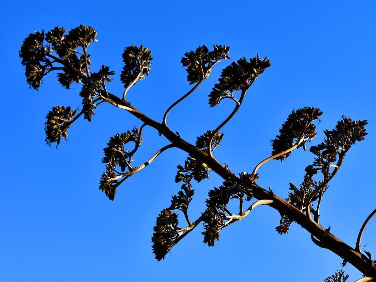 Agave-in-fiore