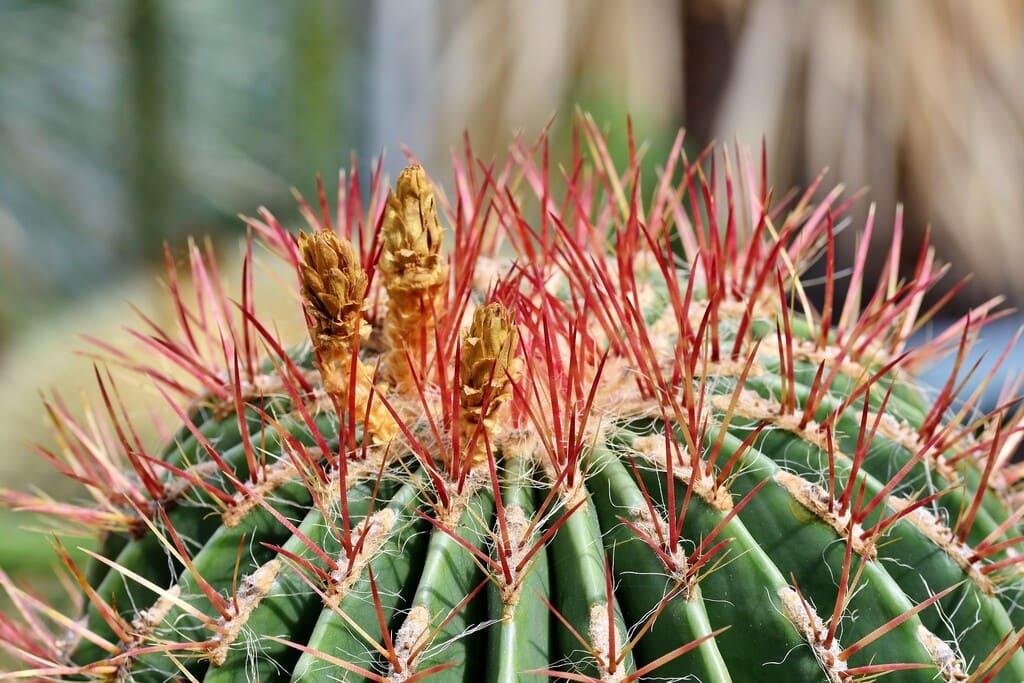 Ancistrocactus-caratteristiche-cure-e-coltivazione