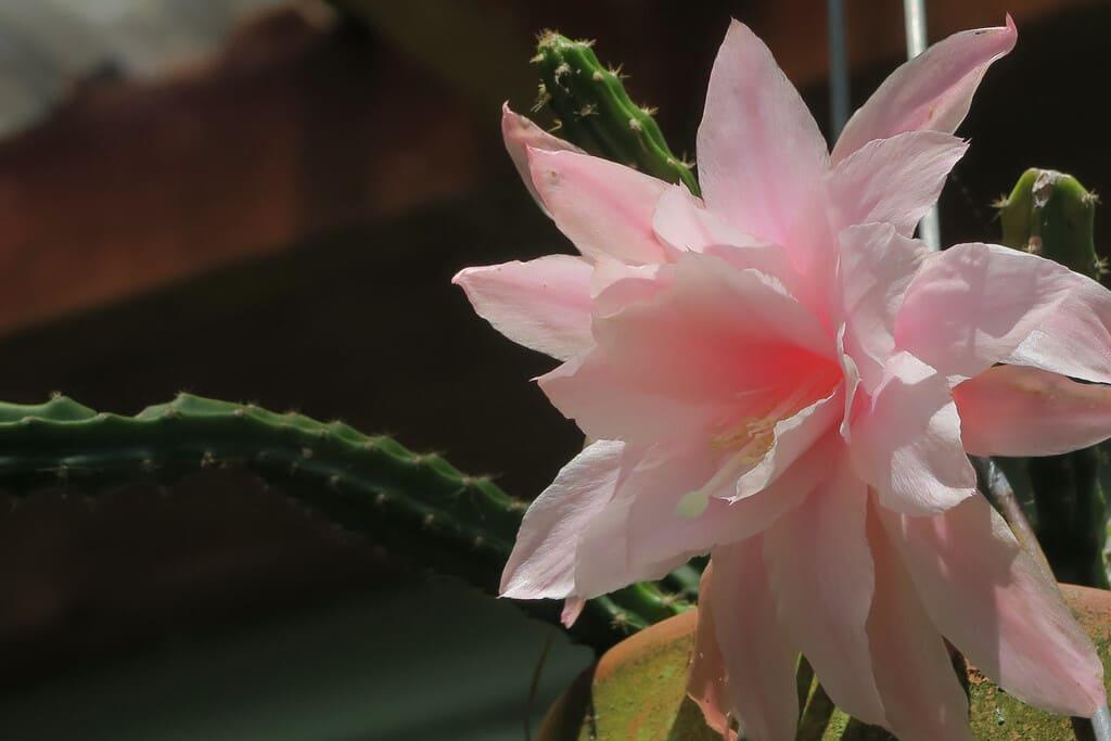 Aporophyllum