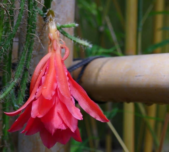 Come-annaffiare-Aporophyllum