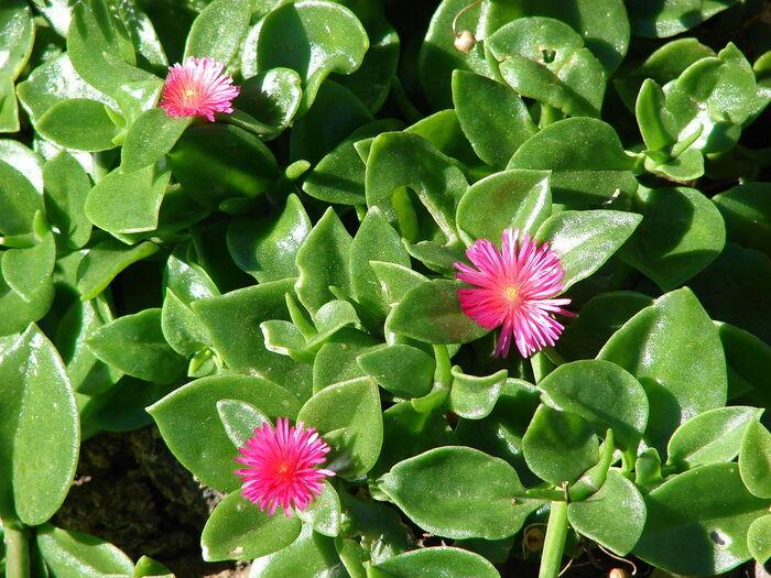 Come-prendersi-cura-dellAptenia-cordifolia