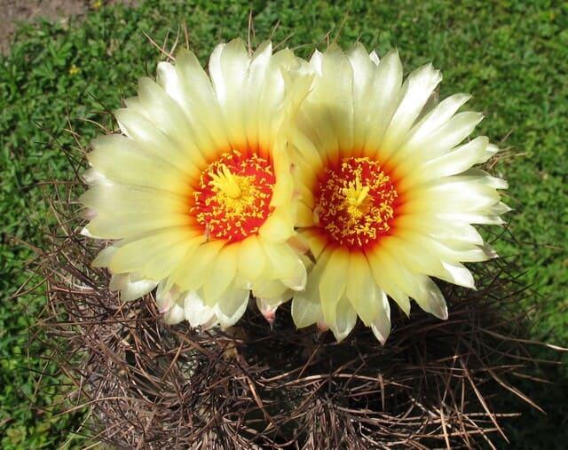 Prendersi-cura-degli-Astrophytum-cactus